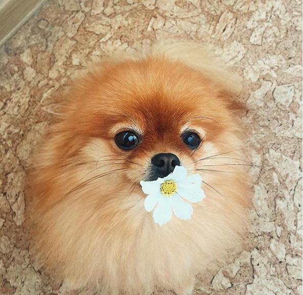 30+ Delightful Female Pomeranian Dog Names - PupsToday