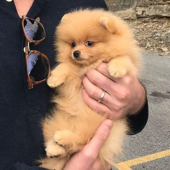 60+ Scottish Pomeranian Dog Names - PupsToday