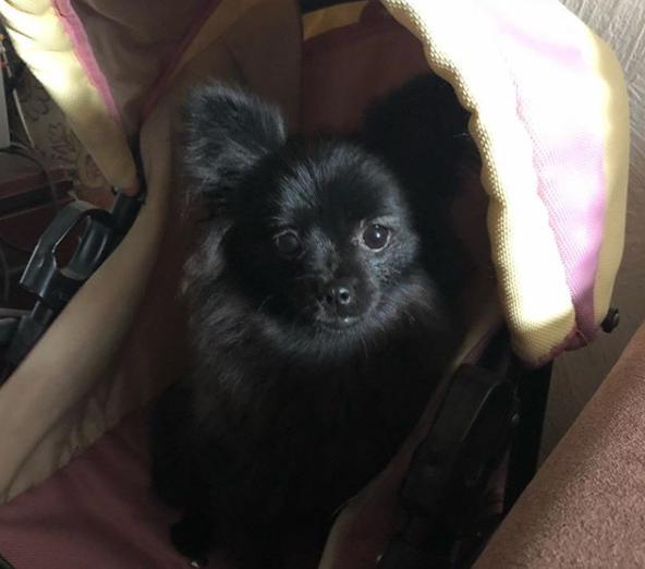 100+ Beautiful Black Pomeranian Names - PupsToday
