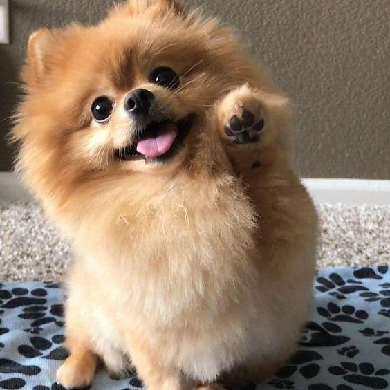 90+ Black and White Pomeranian Dog Names - PupsToday
