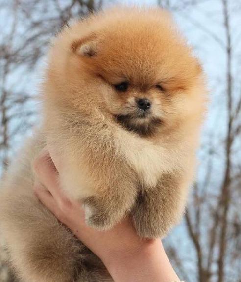 36+ Fashionable Female Dog Names For Pomeranians - PupsToday