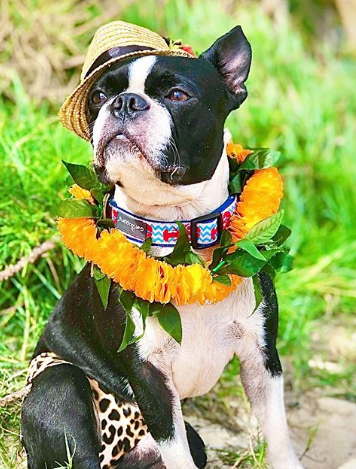 76+ Trendy Hawaiian Dog Names with Meanings - PupsToday